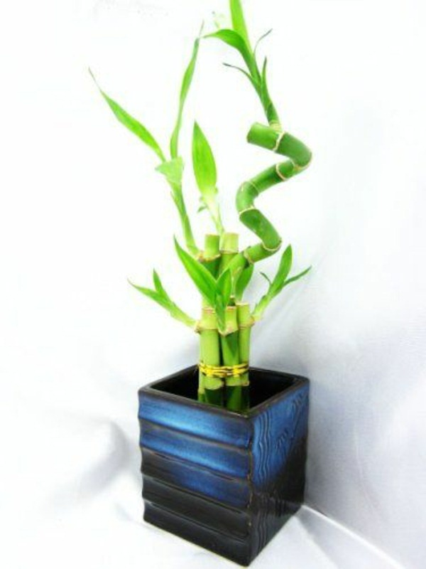lucky bamboo indoor plants flower pot vase asia blue amazing office plants