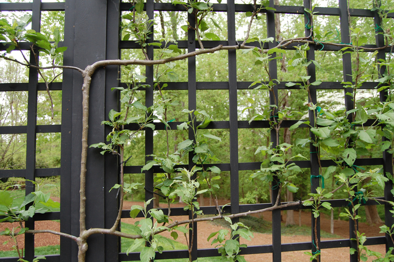 Espaliered fruit trees-designrulz (2)