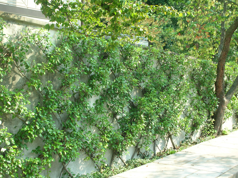 Espaliered fruit trees-designrulz (3)