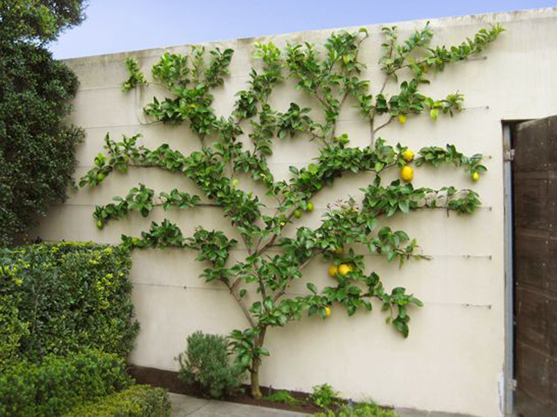 Espaliered fruit trees-designrulz (1)