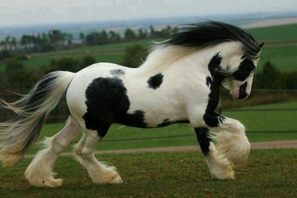 very nice horses in white and black rabid animal