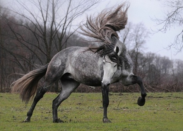 long mane furiously beautiful white horse