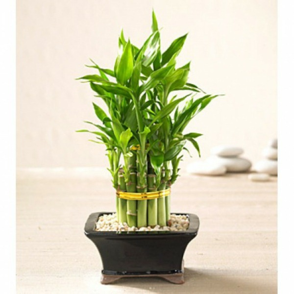 Buy room bamboo luck bamboo stem