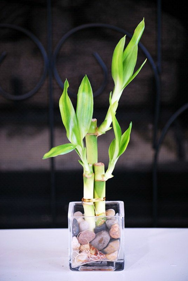 lucky bamboo indoor plants flower pot vase asia fresh