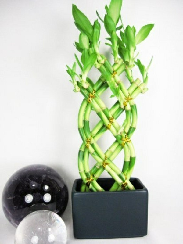 lucky bamboo indoor plants flower pot vase asia intertwined