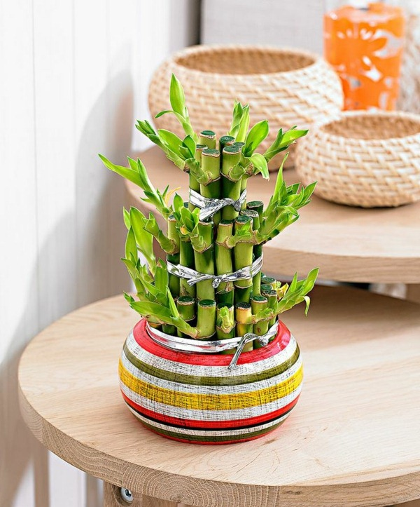 lucky bamboo indoor plants flower pot vase colorful asia