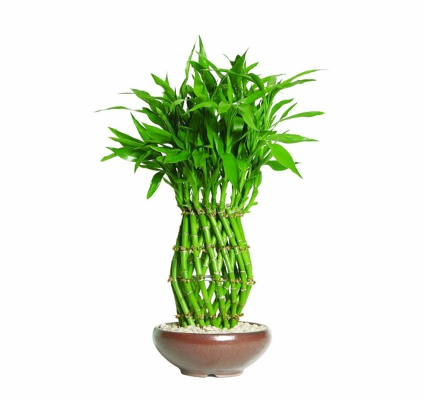 lucky bamboo room bamboo buy container